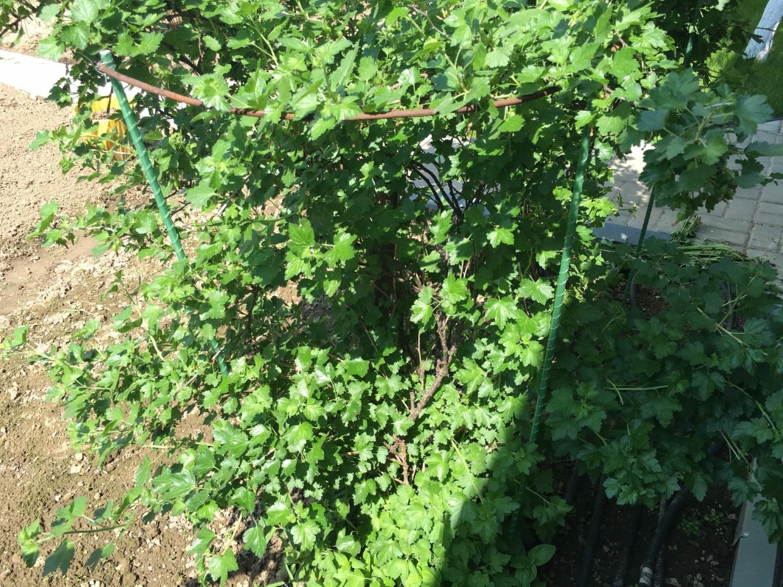 Ограждение ягодных кустарников - для выделения сортовых 96